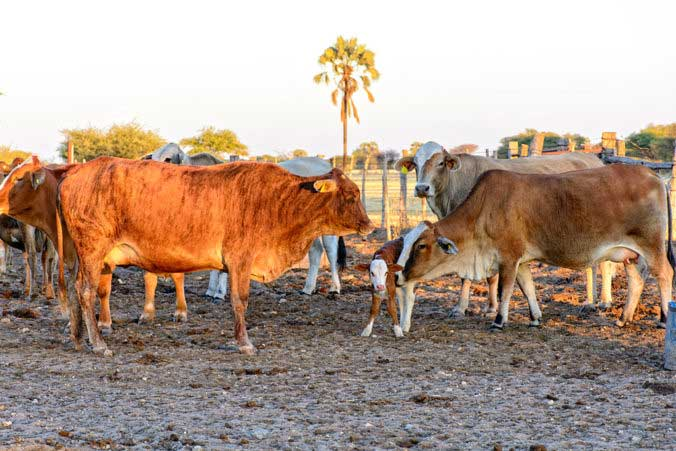Eigene Rinderzucht macht Dornhügel zum besten Steakhaus Afrikas