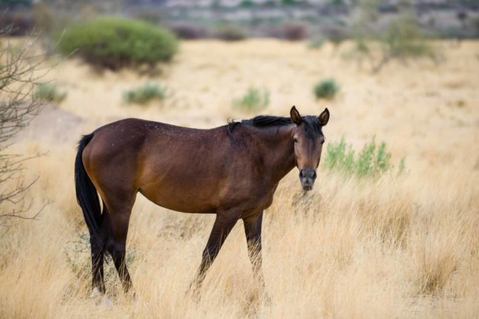 Basotho-Pferdezucht in Namibia